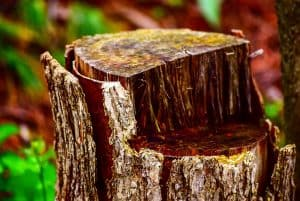 Tree Stump Ready To Be Grinded